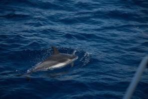 Dauphins bleus et blancs à l'étrave de Thera explorer, Photo Serge Briez, Cap médiations 2014