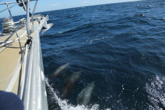 Dauphins communs à l'étrave de Thera explorer, photos Serge Briez, cap médiations 2014