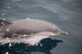 Dauphin bleu et blanc à l'étrave de Thera Explorer, photos Serge Briez, cap médiations 2014