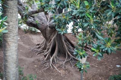 Caoutchouc arbre, dans le parc de l'Aquarium, Syracuse, Sicile, photo Serge Briez, cap médiations 2014
