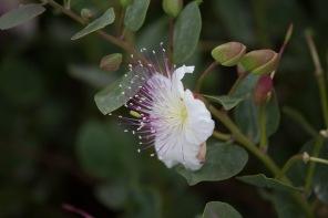 Fleur merveilleusement odorante et magnifique du câprier, Syracuse, Sicile, photo Serge Briez, Cap médiations 2014