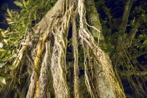 Les racines d'un des magnifiques arbres caoutchouc du par devant l'Aquarium, à Syracuse, photo Serge Briez, cap médiations 2014