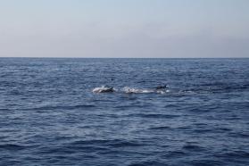 Dauphins bleus et blancs, photo Serge Briez, Cap médiations 2014