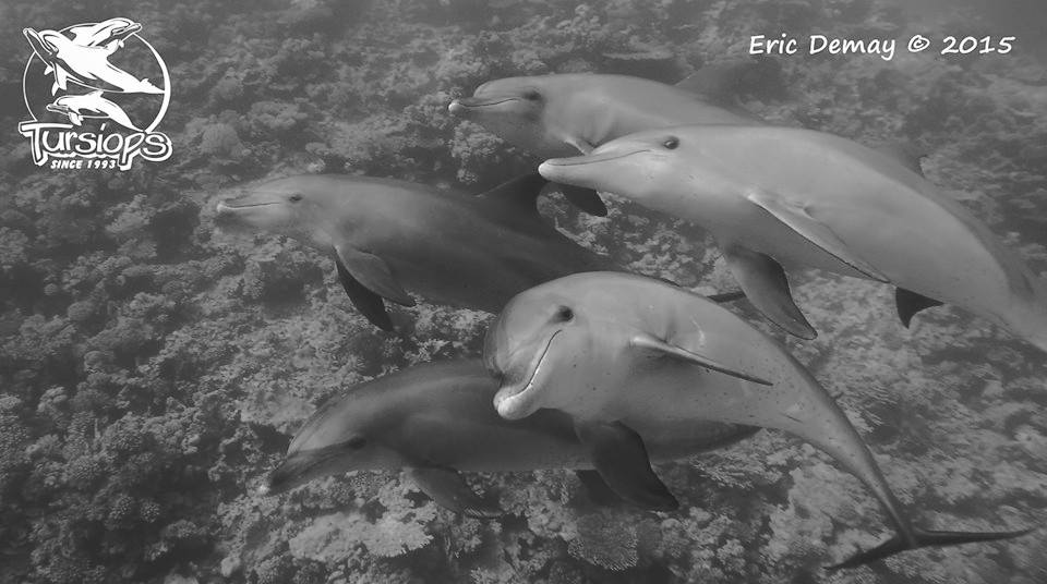 Sefa. Dandy aussi, ma chouchou. Tahar, Vroni Dauphins tursiops en Mer Rouge, ®photo Eric De May 2015