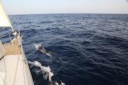 Portfolio Thera explorer par Serge Briez, Photos de Corse, Dauphins Bleu et blanc en Méditerranée